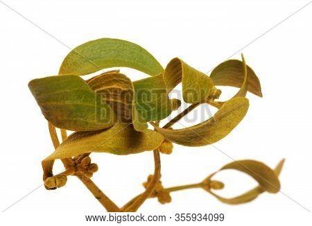 Greenish-yellow Branch Of Common Mistletoe Viscum Album With Foliage. Isolated On White Background.