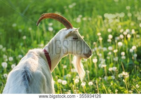 Close Up Goat In Farm On Green Grass. White Goat With Horns