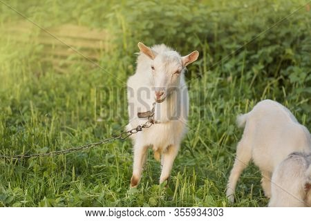 Goat On A Farm In The Village. Goat Standing In A Pasture