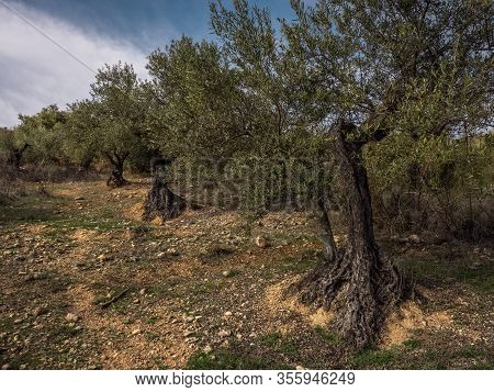 View Of Land With Olive Trees In Las Cárcavas, Madrid, Spain Concept Of Nature.