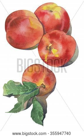 Hand Drawn Watercolor Nectarines On White Background. Illustration Of Fruit Peach.