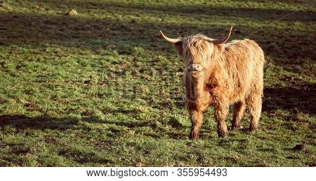 Scottish highland cow grazing in Angus, Scotland