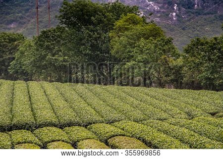 Guilin, China - May 11, 2010: Tea Institute. Neatly Trimmed Rows Of Green Tea Bushes With Dark Green