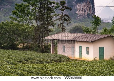 Guilin, China - May 11, 2010: Tea Institute. Neatly Trimmed Rows Of Green Tea Bushes And Beige Stone
