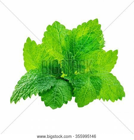 Fresh Melissa Leaves Isolated On The White Background. Mint, Spearmint Close Up