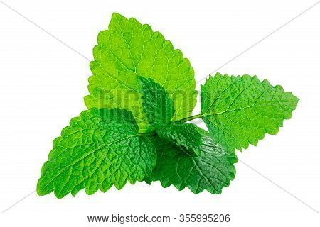 Fresh Mint Leaves Isolated On The White Background. Peppermint, Spearmint Close Up