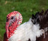 Turkey with a red head and black and white feathers. poster
