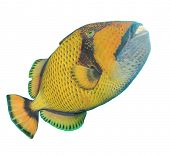 Titan Triggerfish isolated on white background poster