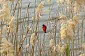 Male Southern Red Bishop or Red Bishop (Euplectes orix) sitting in reed Western Cape South Africa poster