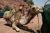 Camel kneeling in the Ourika Valley near Marrakech Morocco poster