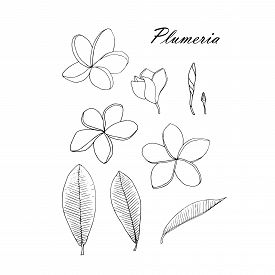 Plumeria Monochrome Flower, Leaves Set. Art Design Element Object Isolated Hand Drawing Stock Vector