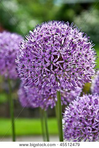 Purple Allium Flowering Plant
