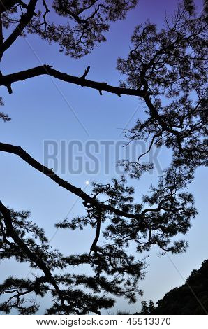 Silhouette Of Tropical Pine