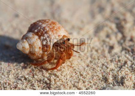 Crab In A Shall Crawfish Crayfish On Beach Sand
