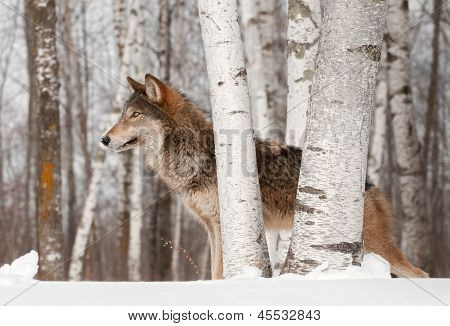 Grey Wolf (Canis lupus) Stands Looking Left - captive animal poster
