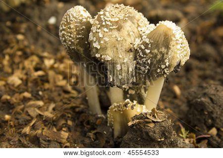 Mushrooms Toadstool