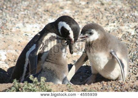 Penguin Feeding Babies