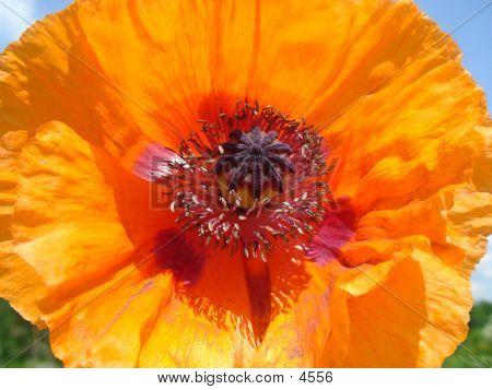 Beauty In A Poppy