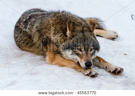 Wolf having a rest