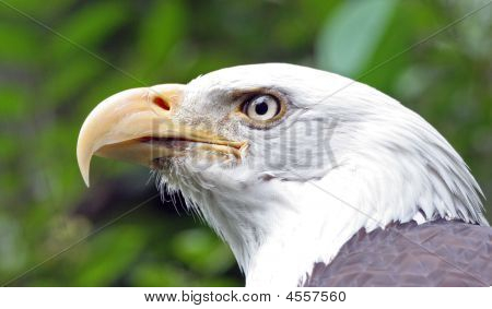 A closeup portrait of a bald eagle. poster