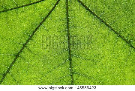 anatomy of leaf