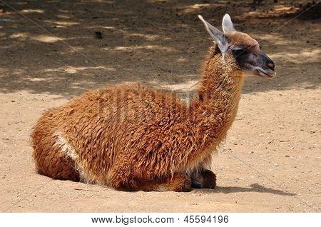Guanaco Camelid Animal