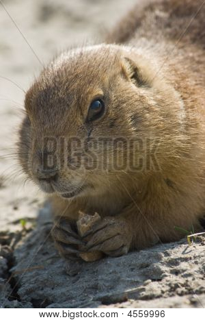 Prairie Dog Sitting And Eating