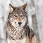 Grey Wolf (Canis lupus) with One Ear Back - captive animal poster
