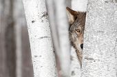 Grey Wolf (Canis lupus) Behind Tree - captive animal poster
