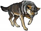 aggressive wolf,canis lupus,picture isolated on white background poster