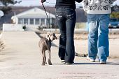 A couple walks a cute weimaraner puppy at the beach. poster