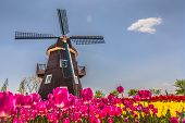 colorful tulips and mill in netherland fields poster