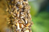 closeup of hardworking bees on honeycomb eating honey poster