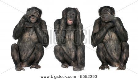 Three Wise Monkeys : Chimpanzee - Simia Troglodytes (20 Years Old)