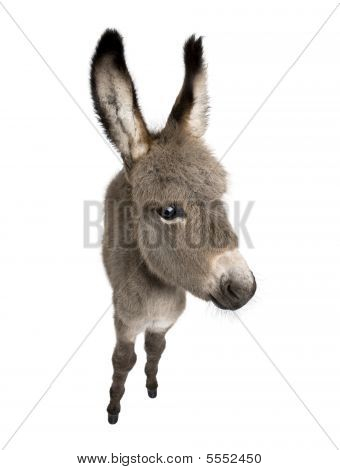 wide-angle view of a donkey foal (2 months) in front of a white background poster