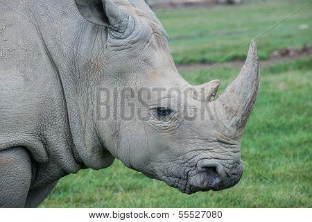 African Rhino On A Grass Field