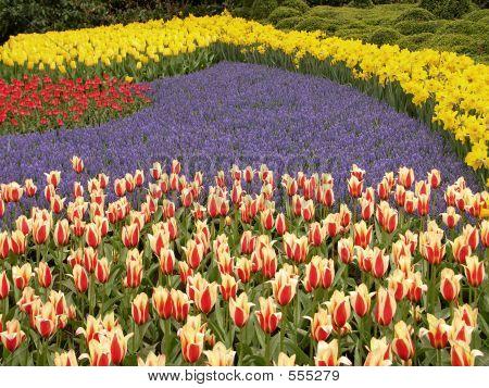 Tulip Field #5