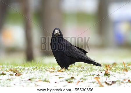 Corvus Frugilegus In The Park