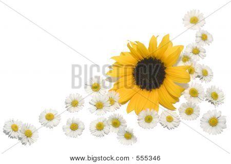 Border Daisies Sunflower