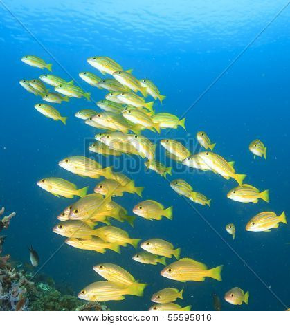 School of yellow fish on blue background (Bluelined Snappers)