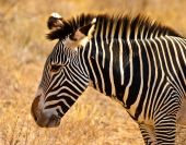 Zebra animal with a closeup of the head poster