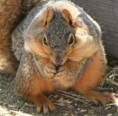 eastern fox squirrel (sciurus niger)with cheeks full of food, eating oats in farmyard. poster