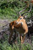 Beautiful impala buck grazing in Serengeti National Park Tanzania. poster