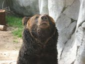 This shot was taken of a bear in deep thought with its head lifted up in the air at the Zoo on June 10 2008. poster
