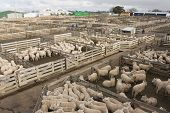 Pens full of sheep at the Feilding stockyards in New Zealand. poster