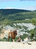 Mountain goats in the Ardeche Gorge, France poster