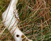 sheep's jaw bone lying in the  grass poster