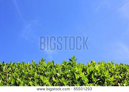 Green hedge and blue sky background
