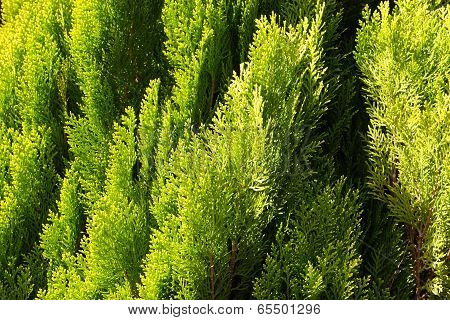 Green thuja foliage background