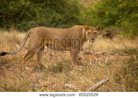 lioness standing and staring at viewer
